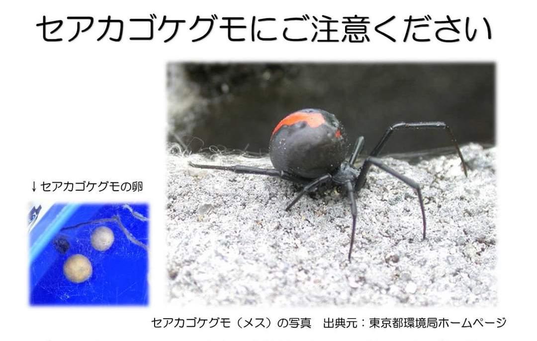 セアカゴケグモに注意してください❗️(転載)